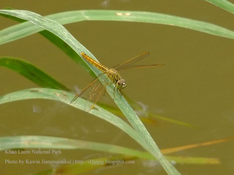 แมลงปอบ้านปีกเปื้อนส้ม Brachythemis contaminata