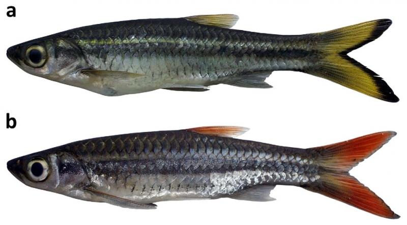 dusonensis-and-tornieri.jpg
