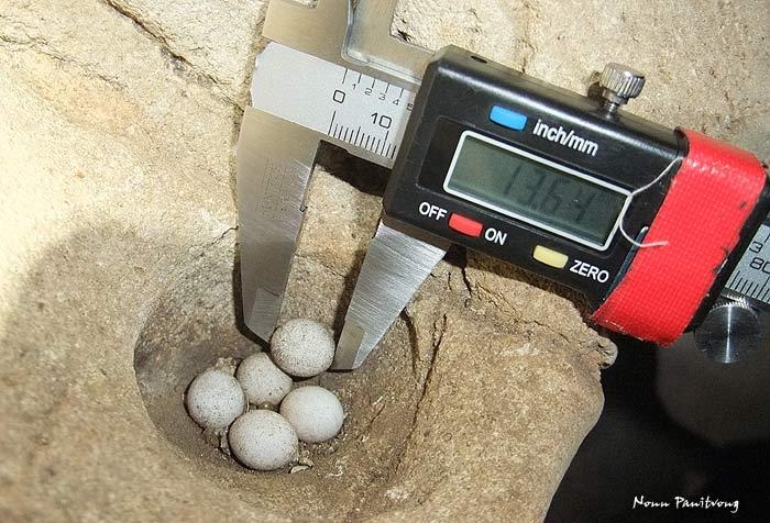 ไข่กลุ่มนี้วางไว้ท้าทายมากๆ โล่งแจ้งจางปาง(ในถ้ำ) จริงๆ ช่องนี้ตอนแรกมี 4 ฟอง แต่เจอตกอยู่บนพื้นฟองหนึ่งเลยหยิบมาวางไว้ด้วยกัน