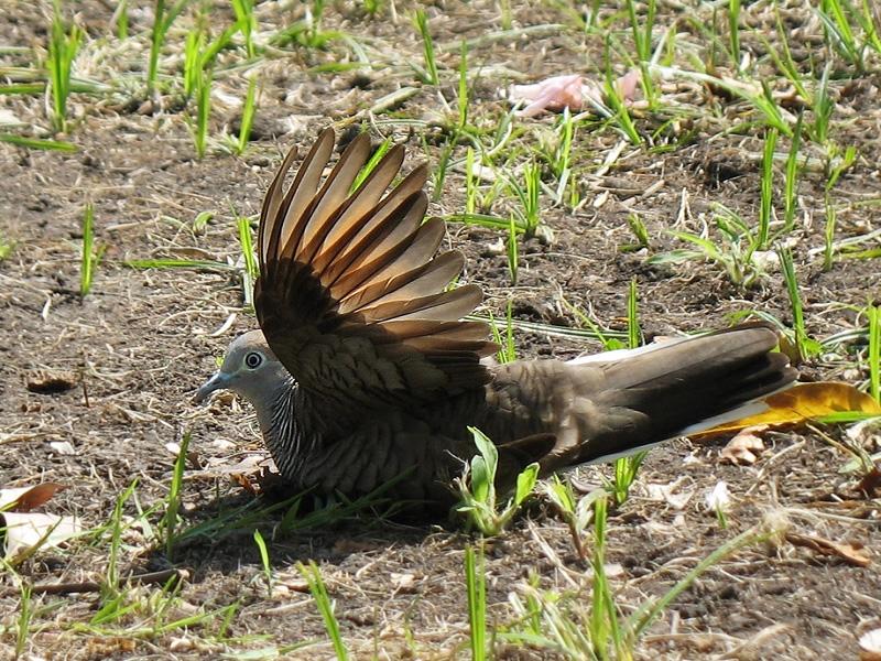 นกเขาชวากำลังสังเคราะห์แสง :P