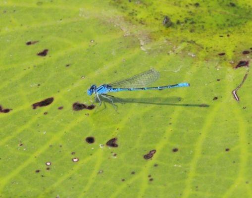 และแล้วเราก็เห็นแมลงปอเข็มสีฟ้าๆ เยอะแยะตัวนึง