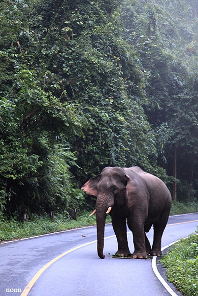 ปิดท้ายด้วยภาพคุณช้าง ยื่นอยู่กลางถนน วัดใจกันอยู่สักพัก เขาก็หลบให้เราพอจะผ่านไปได้