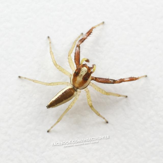 epocilla_calcarata-male-5.3mm-huamark_bangkapi-bkk-2-11-11.jpg