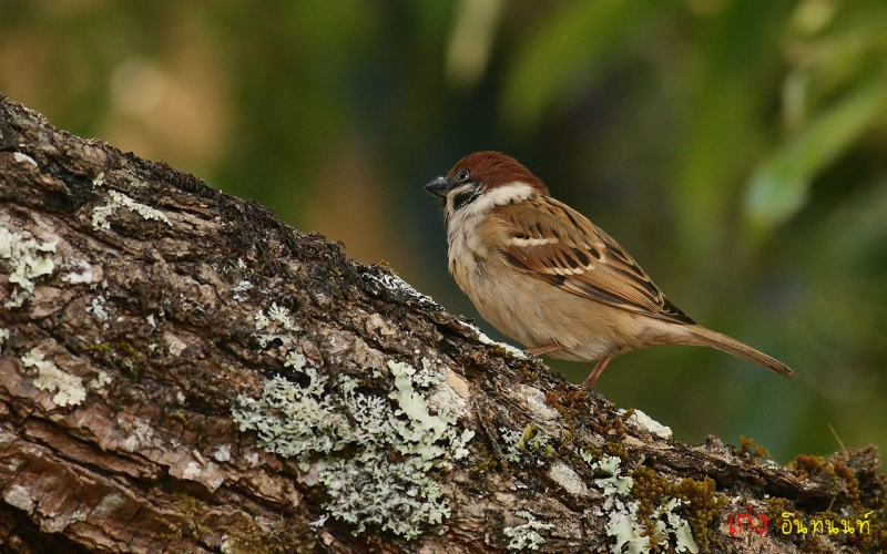 eurasian-tree-sparrow19.jpg