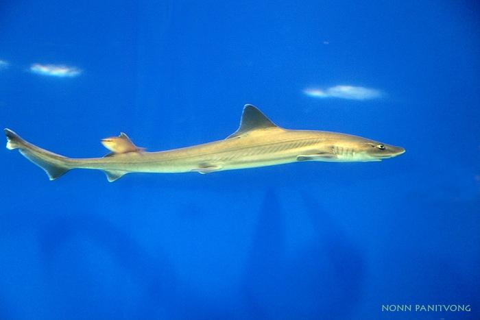 f_shark_slender.jpg