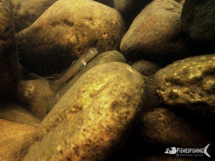 ปลาบู่น้ำตกเชียงใหม่ ตัวผู้