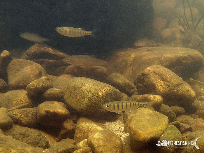 ปลาน้ำหมึกและปลาจาดที่อยู่รวมๆกัน