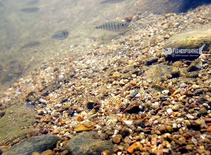 ฝูงปลาค้อทรายกับฝูงปลาน้ำหมึก