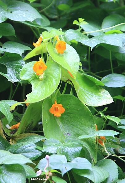 Gesneria สีเหลือง สวยงามมาก ปกติคุ้นตาแต่สีม่วงของทางระยอง นี่ถ้าเอามาปลูกคู่กันได้คงสวยมากๆเลย