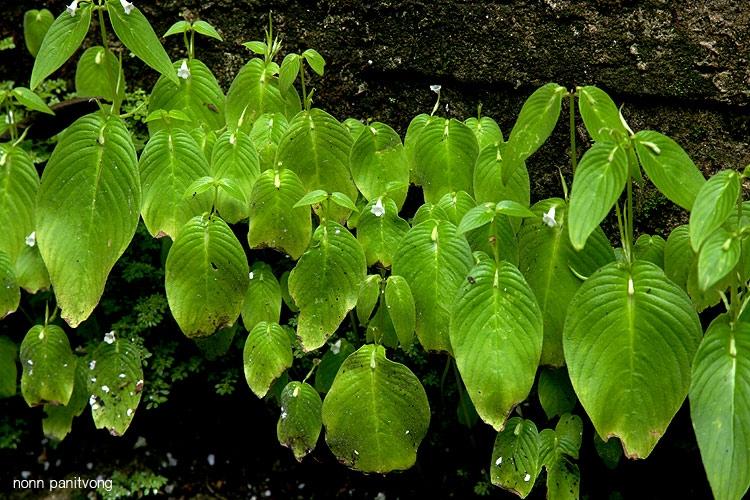 gesneriaceae.jpg