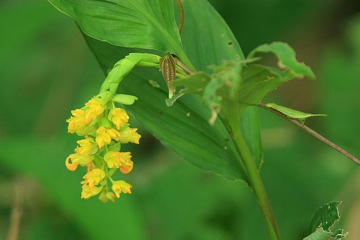 globba_yellow.jpg