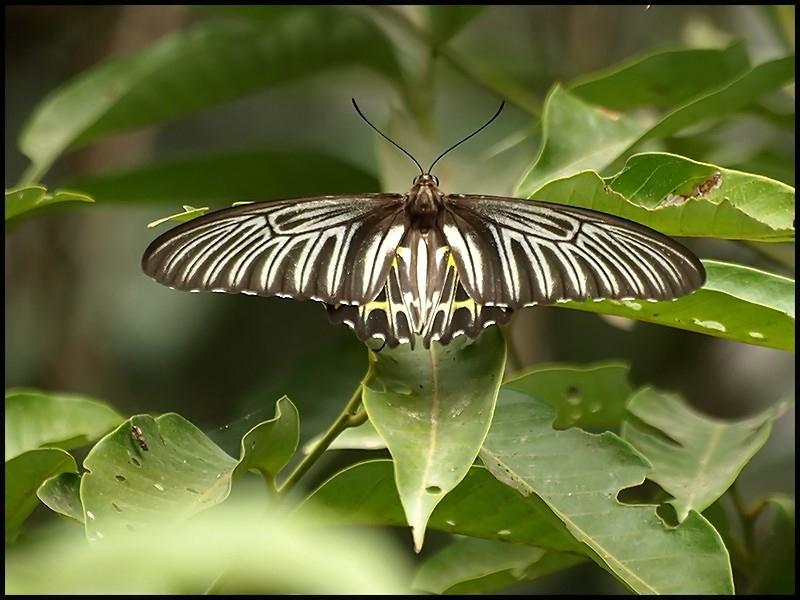 golden_birdwing_female.jpg