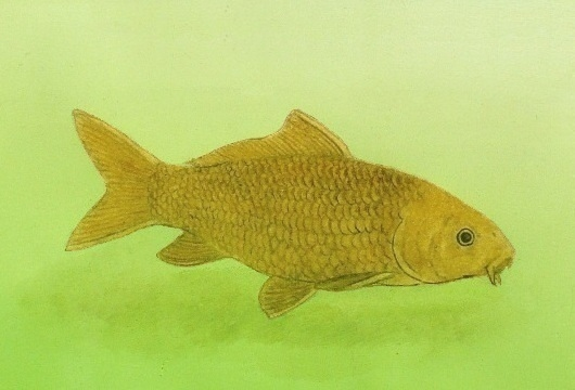 goldencarp.jpg