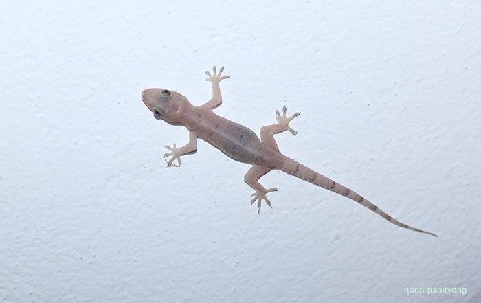 Hemidactylus mabouia จากเอเชียเข้าใจว่าเป็นเอเลี่ยนของแถวนั้น