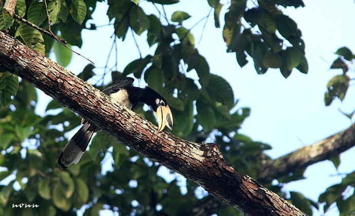 นกแก๊ก (Anthracoceros albirostris) ตัวนี้กินบุ้งหรือหนอนอะไรสักอย่างอยู่บนคบไม้สูง มันจะคาบหนอนมาถูๆๆอยู่หลายทีก่อนจะกิน