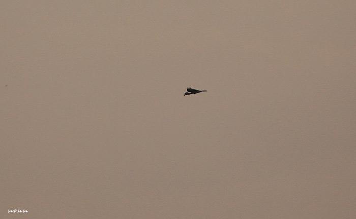 เห็นตัวนี้บินอยู่ไกลๆ ดีใจที่เห็น ไม่ได้เห็นแถบนี้มานานมากแล้ว นกแก๊กใช่ไหมนี่?