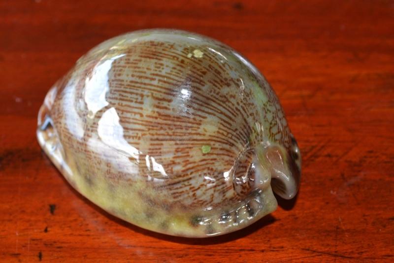 หอยชนิดที่สอง01