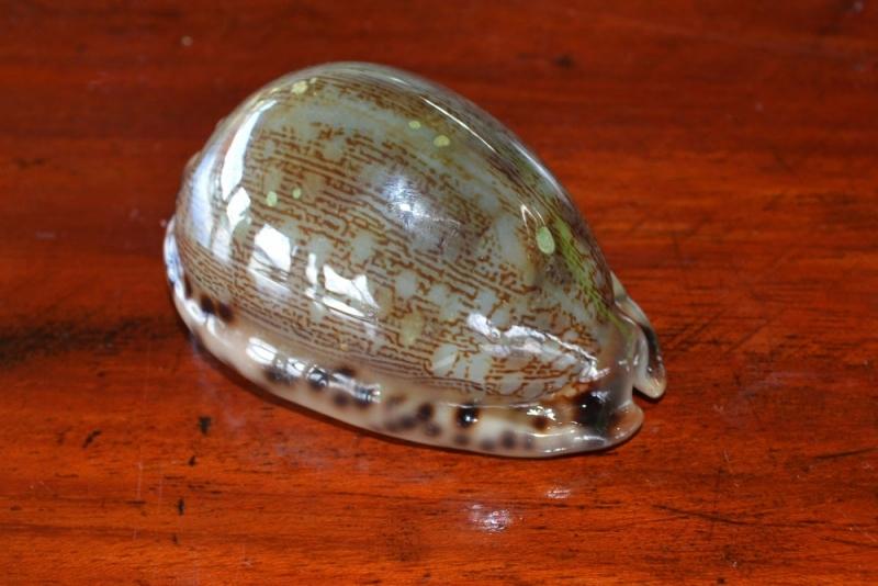 หอยชนิดที่สอง02