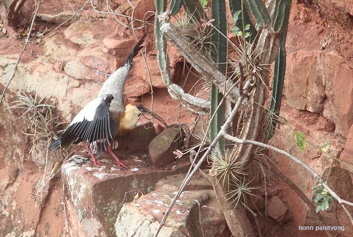 ฺBuff-necked Ibis ทำรังอยู่ในรูเหมือนกัน