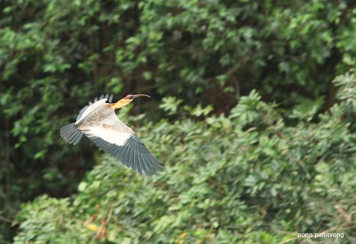 ibis_buffnecked.jpg