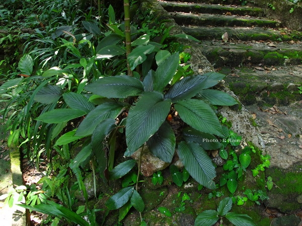 Boesenbergia plicata (Ridl.) Holtt.  ต้น