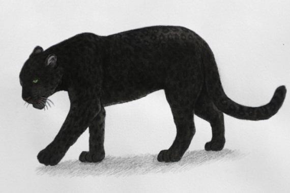Black_Leopard