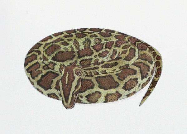 BurmesePython