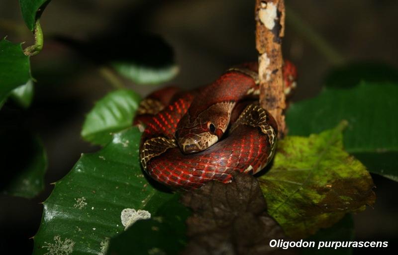 งูคุด (Oligodon purpurascens)