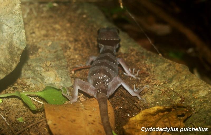 ตุ๊กกายป่าใต้ (Cyrtodactylus pulchellus)