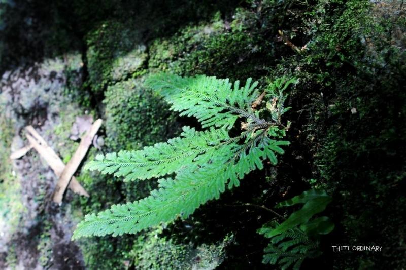 Selaginella ชนิดไหนไม่รู้ สวยดี