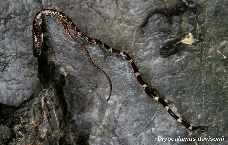 งูปล้องฉนวนอินเดีย (Dryocalamus davisonii)