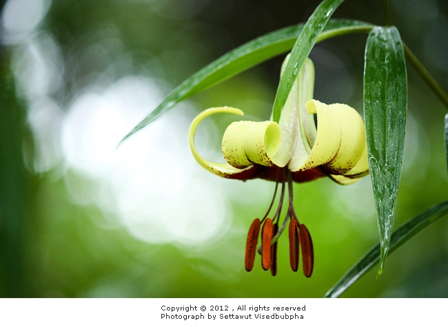 แตรวง Lilium primulinum