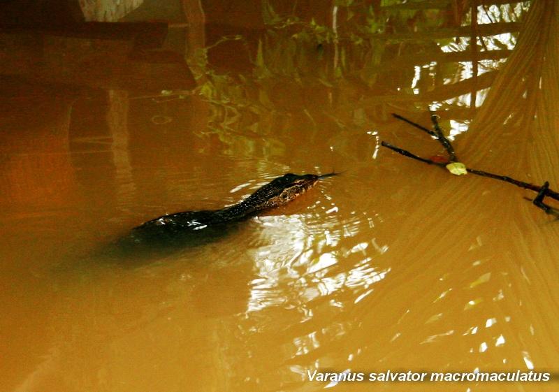 เหี้ย (Varanus salvator macromaculatus)
