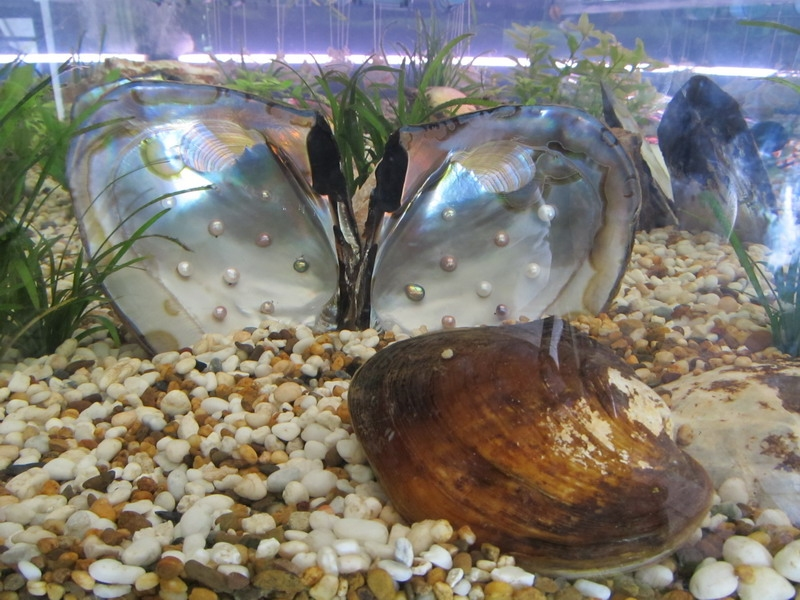 หอยมุกน้ำจืด