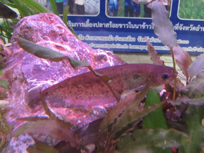 ปลาชะโอนหิน (เนื้ออ่อน)