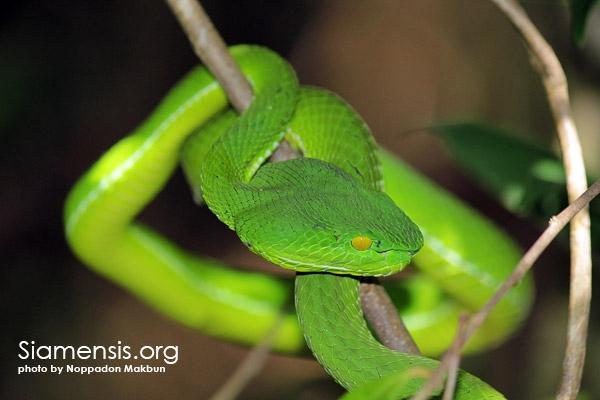 งูเขียวไผ่