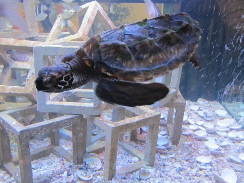 เต่ากระน้อยในแนวปะการัง