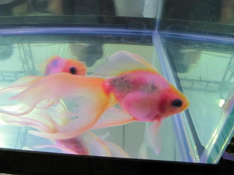 ปลาทองซีทรู