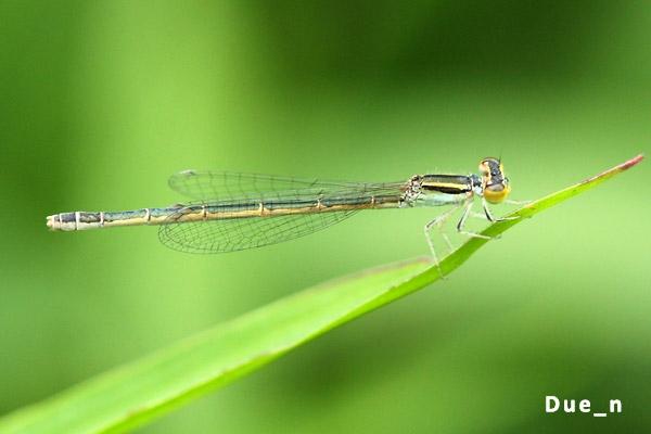 แมลงปอเข็มนาส้มวงฟ้า Ischnura aurora ตัวเมีย