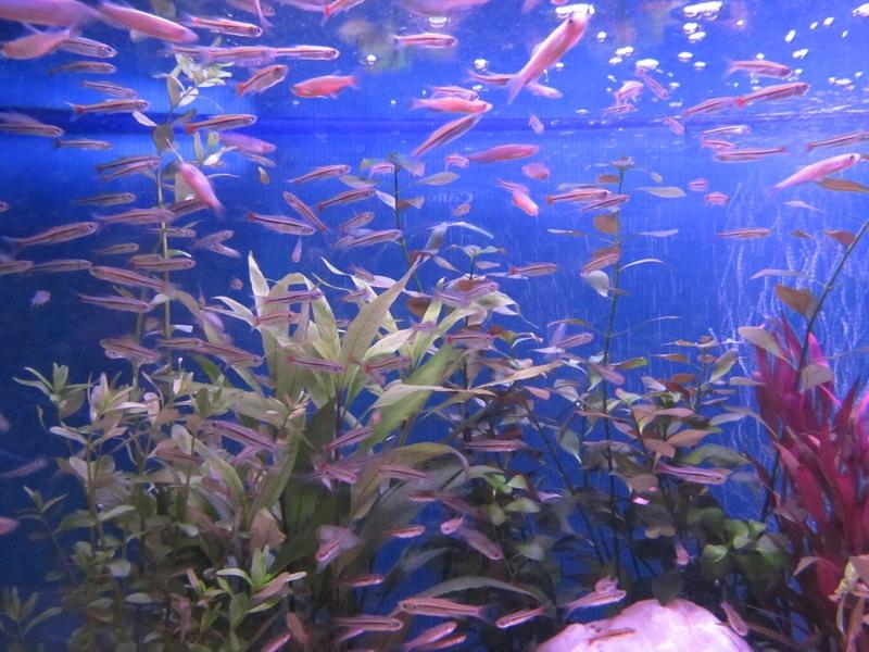 ปลาซิวหางแดง + ปลาซิวม้ามุก
