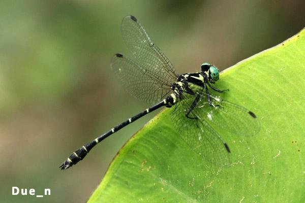 Microgomphus chelifer ตัวผู้