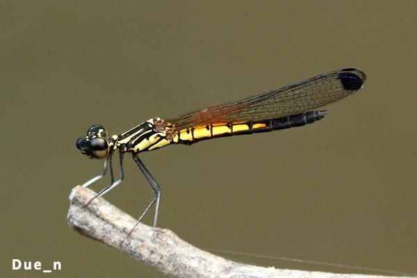 แมลงปอเข็มธาราลายเส้น Libellago lineata ตัวผู้