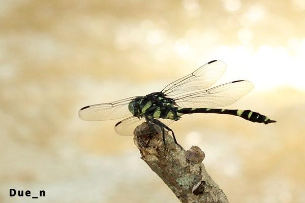 แมลงปอเสือครูเจอร์ Gomphidia kruegeri