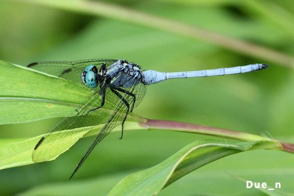 แมลงปอบ้านเสือหน้าขาว Orthetrum luzonicum ตัวผู้