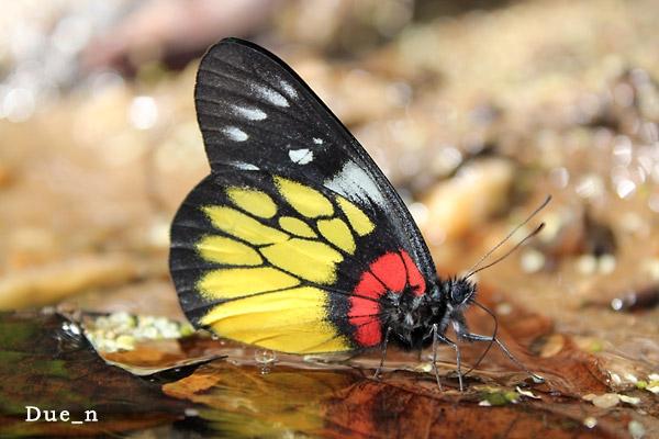 ผีเสื้อหนอนกาฝากใต้ปีกแดง Delias pasithoe siamensis