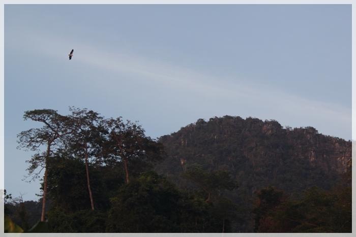 นกเหยี่ยวแดง (Haliastur indus) พบเห็นบ่อย