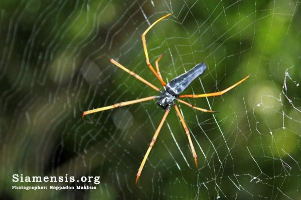 Nephila sp. สีดำ