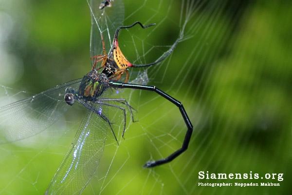 แมงมุมเขาโง้งพิการกินแมลงปอเข็มน้ำตกใหญ่หน้าขาว