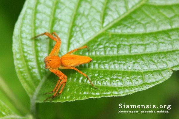 แมงมุมตาหกเหลี่ยมสีส้มแป้ด