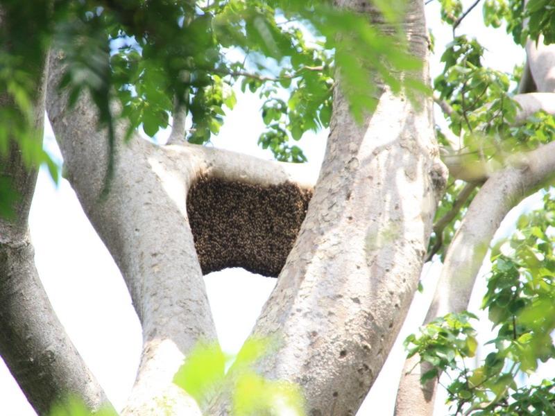 รังผึ้งใหญ่มาก